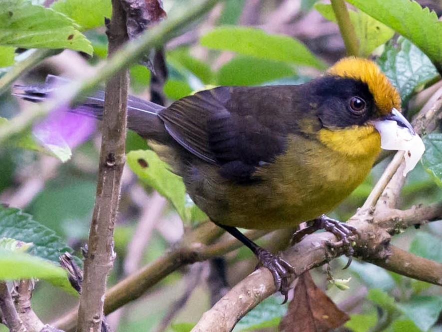 Tricolored Brushfinch - Tim Liguori