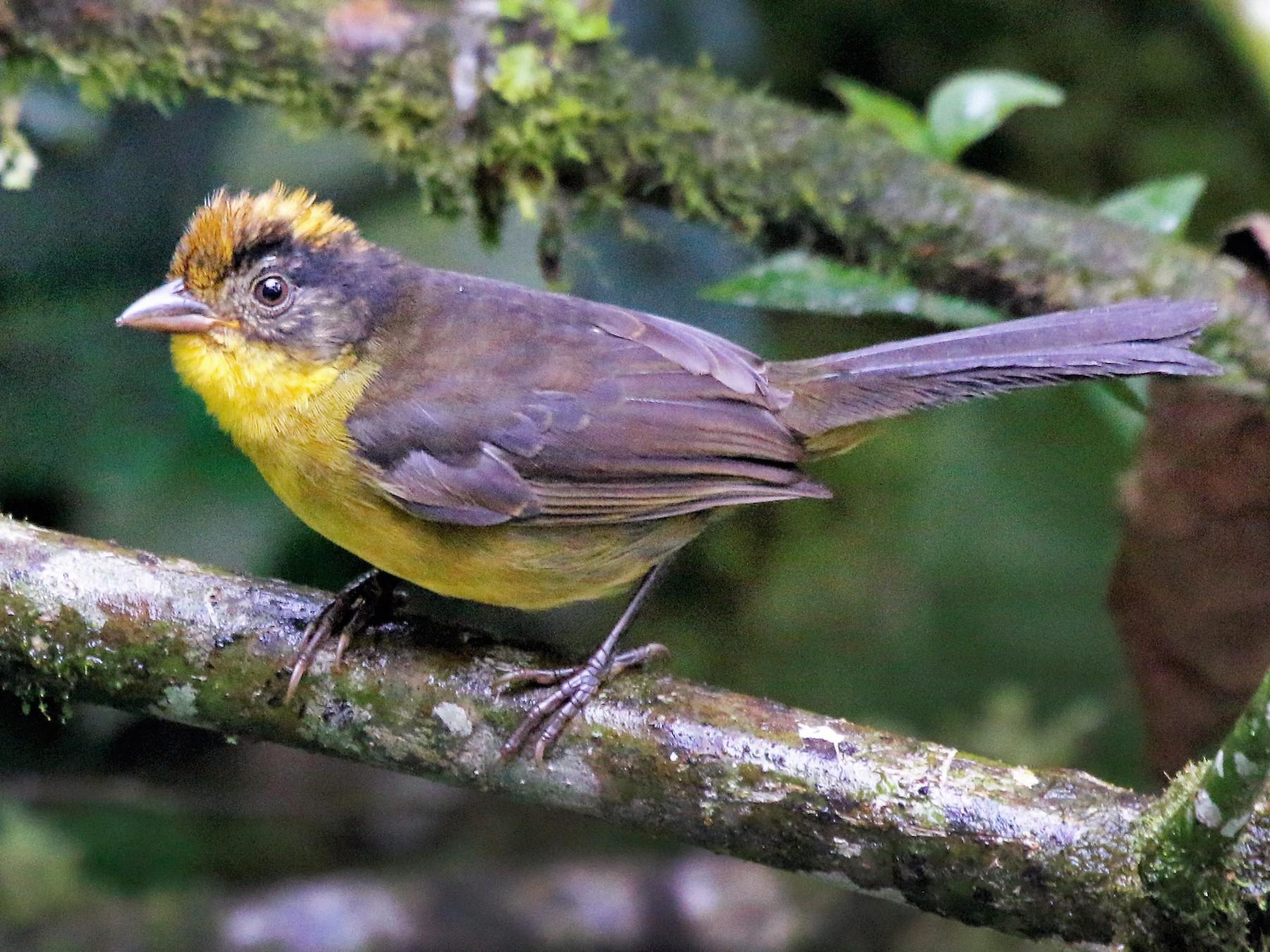Tricolored Brushfinch - Madeleine Sandefur