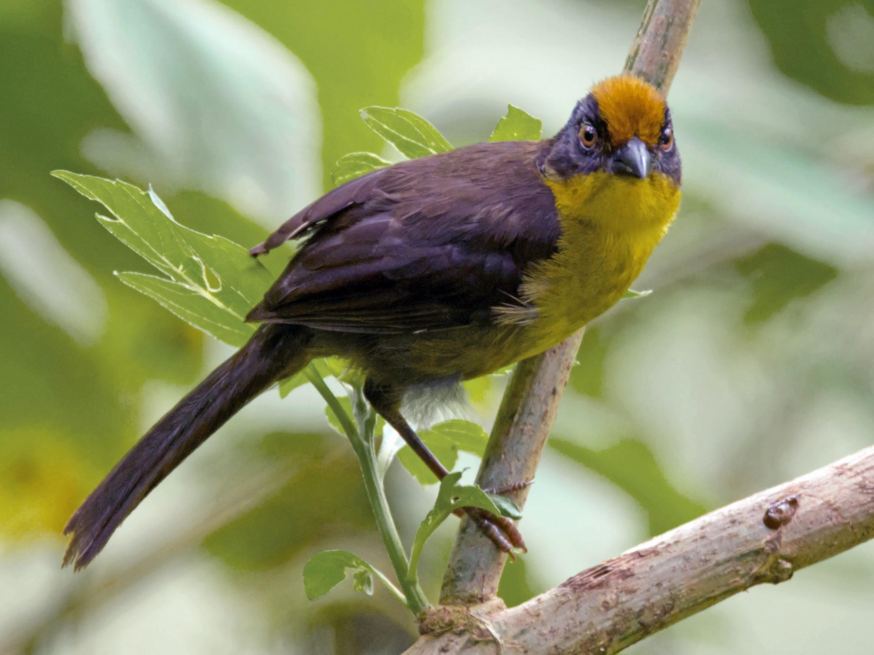 Tricolored Brushfinch - Juan Sebastian Moreno
