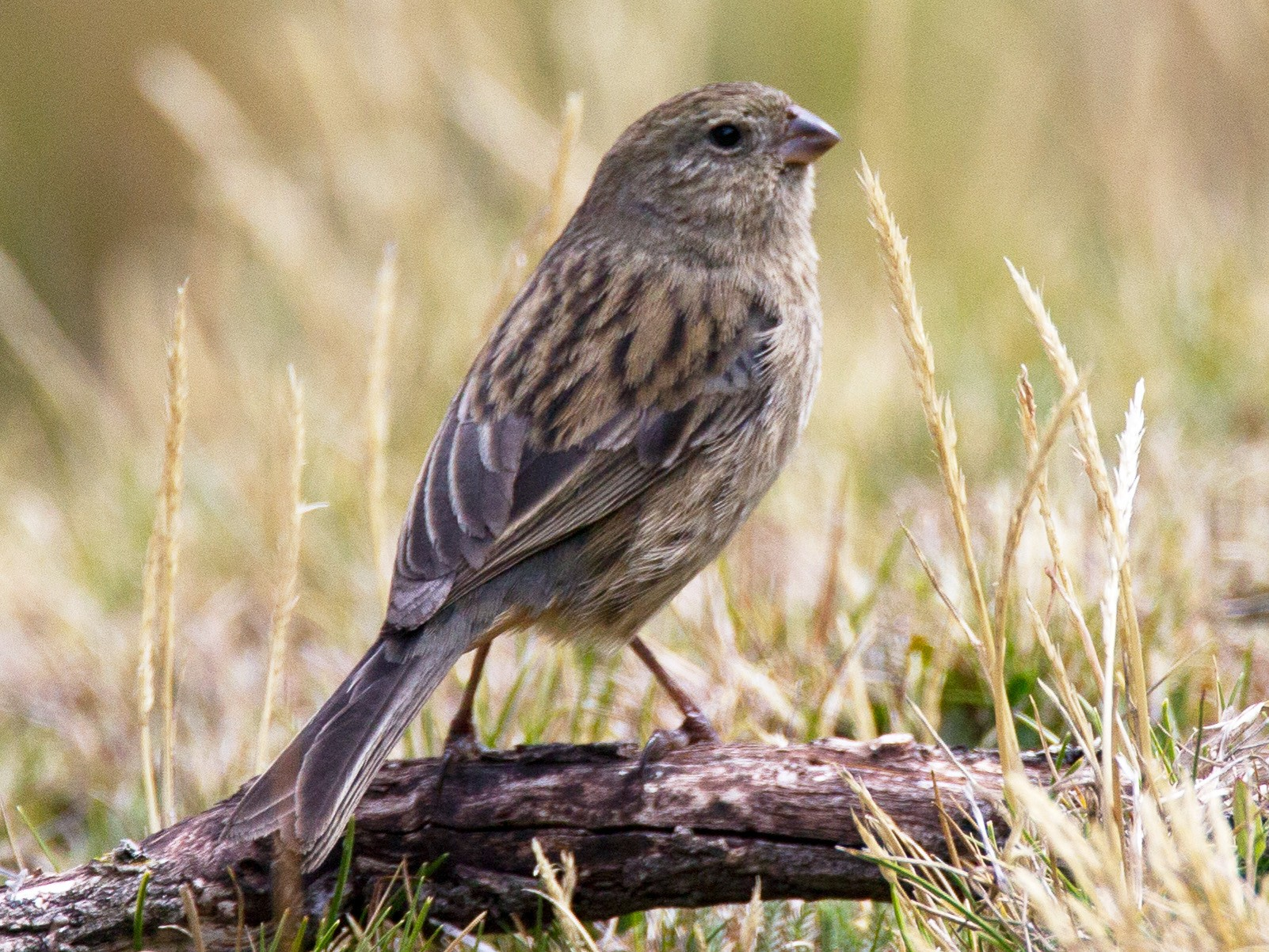 Plain-colored Seedeater - Chris Wood