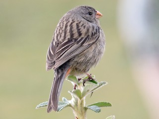 - Plain-colored Seedeater