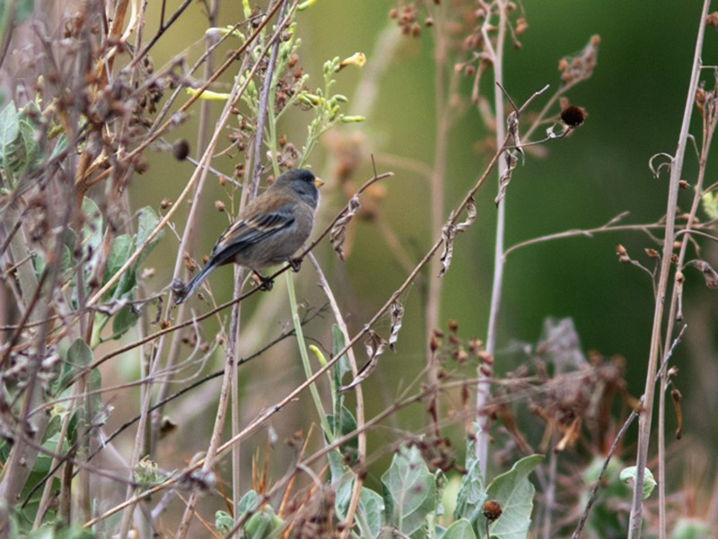 Band-tailed Seedeater - Silvia Faustino Linhares
