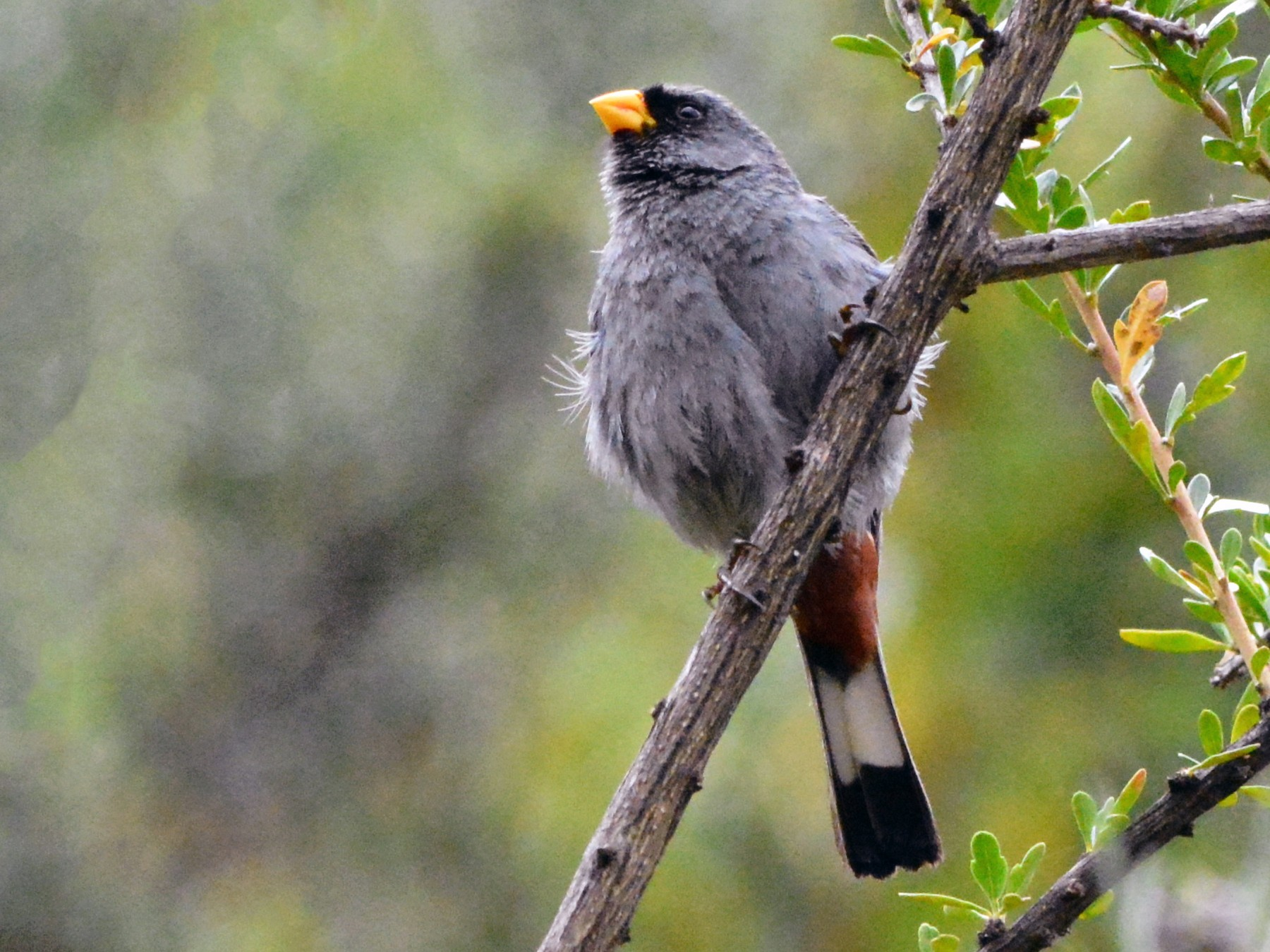 Band-tailed Seedeater - Nate Brown