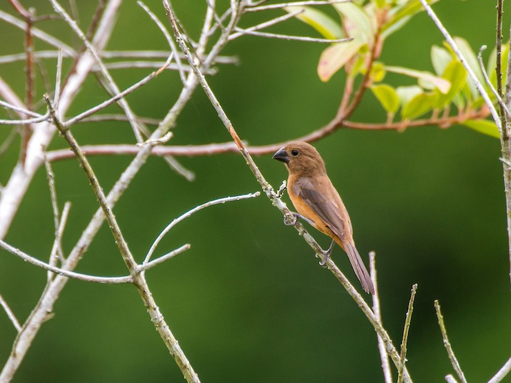 Chestnut-bellied Seed-Finch - Leonardo Merçon / Instituto Últimos Refúgios