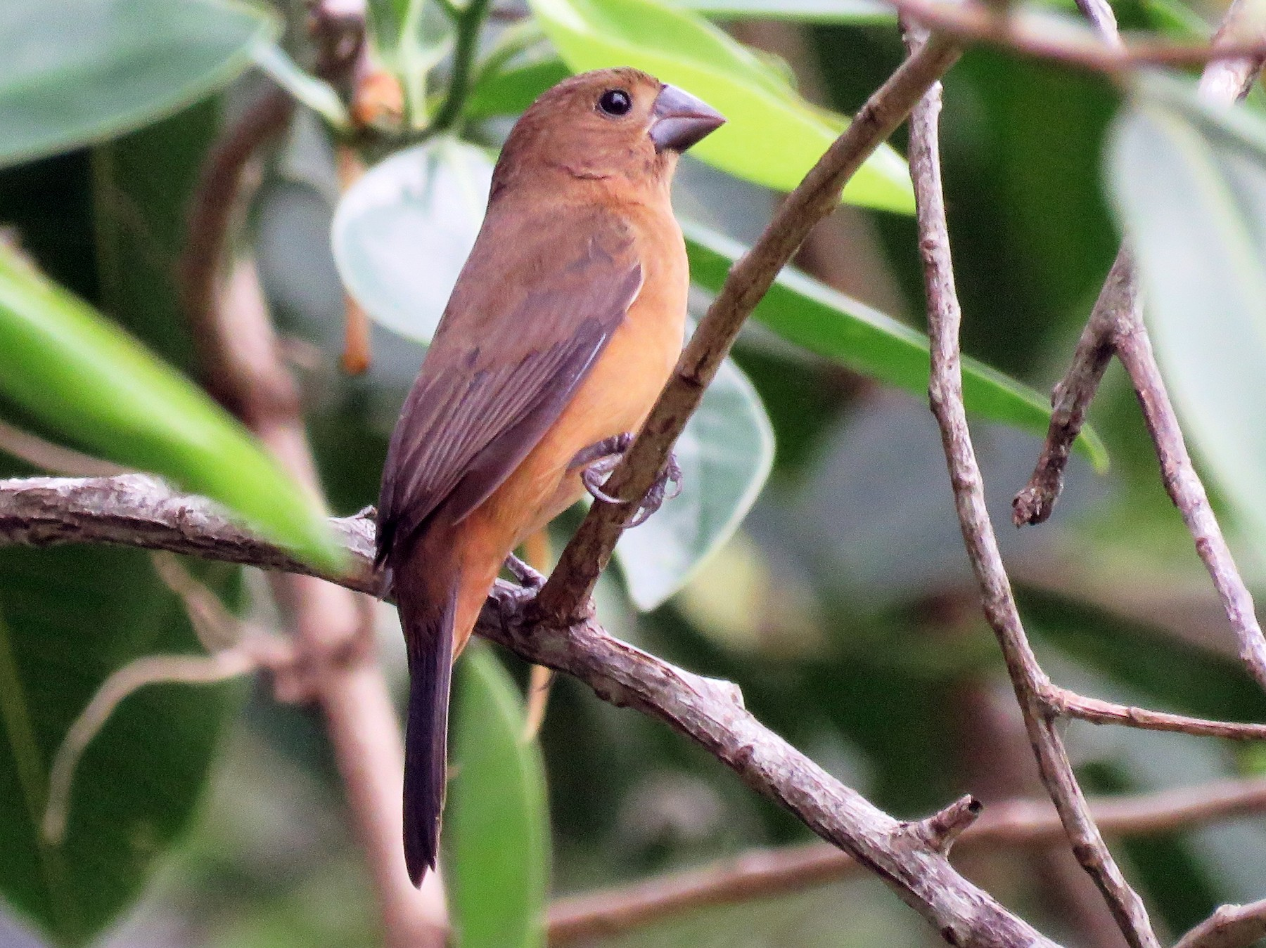 Chestnut-bellied Seed-Finch - Timothy Forrester