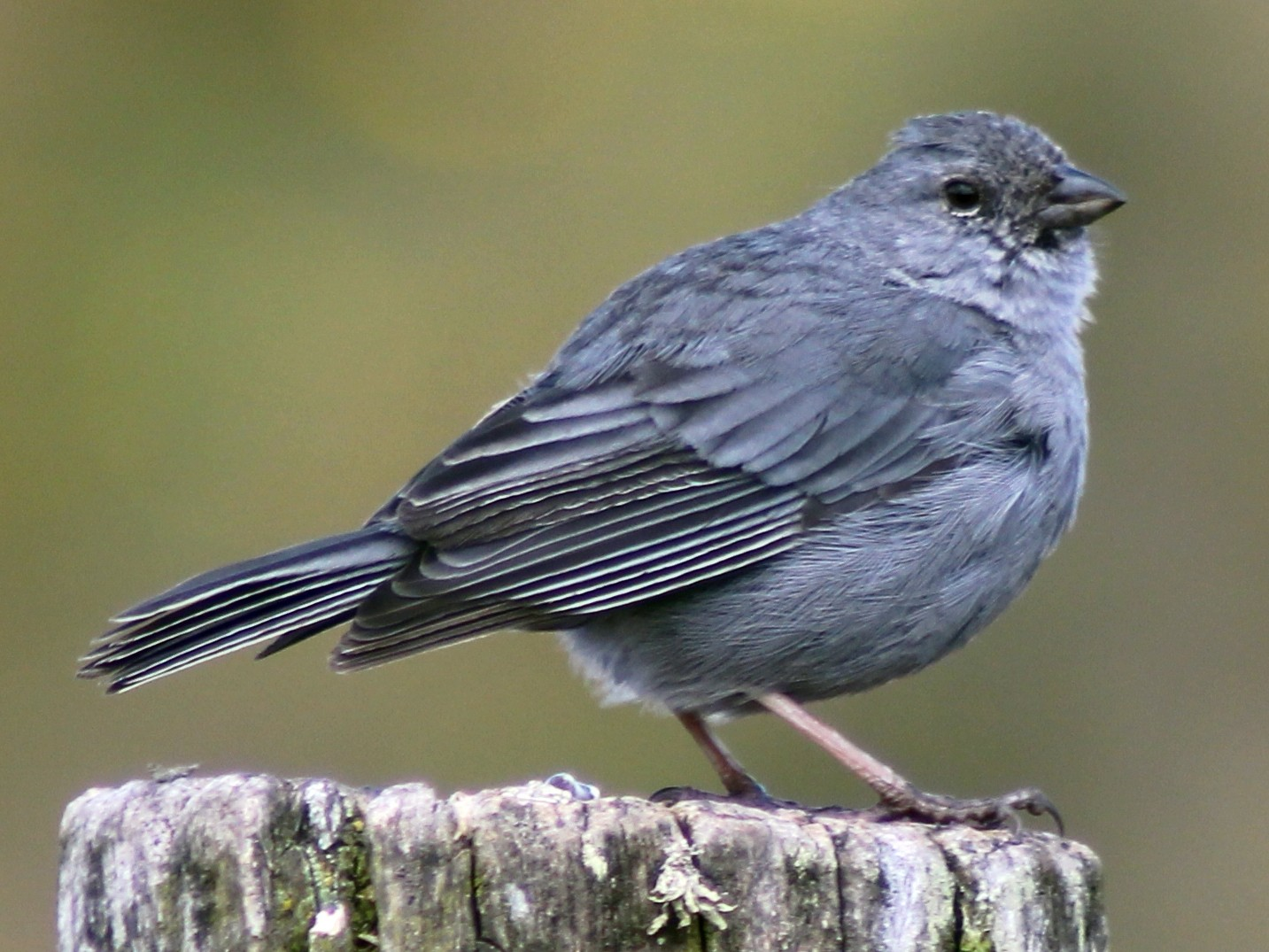Plumbeous Sierra-Finch - Ty Sharrow