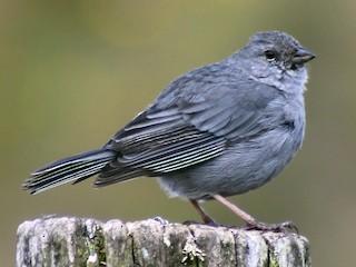 - Plumbeous Sierra-Finch