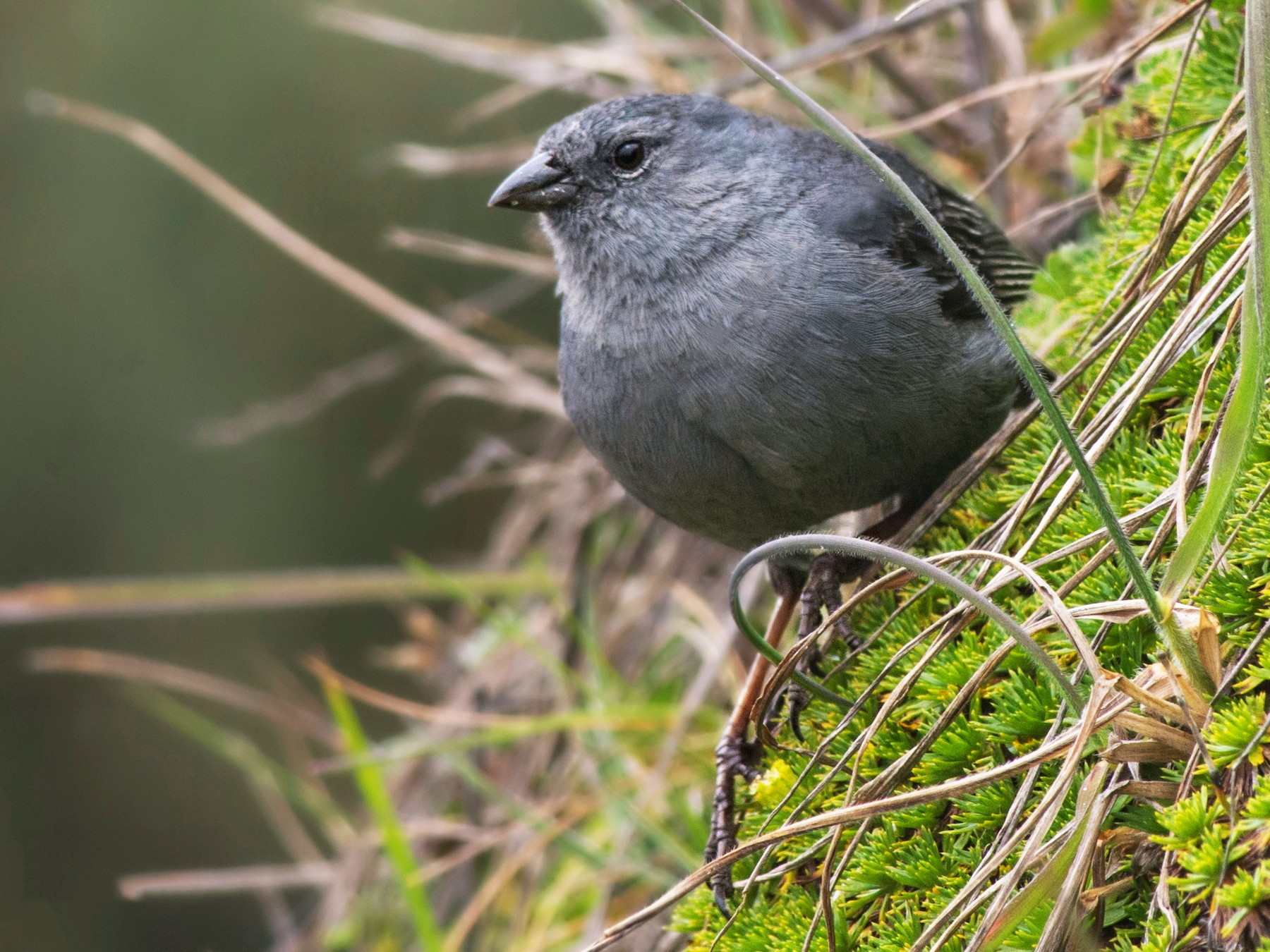 Plumbeous Sierra-Finch - Jeff Maw