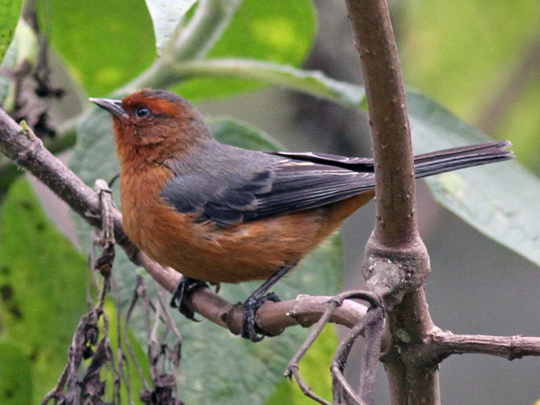 Rufous-browed Conebill - Michael McCloy