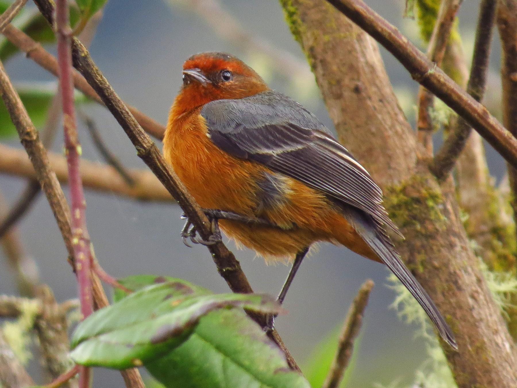 Rufous-browed Conebill - Jorge Muñoz García   CAQUETA BIRDING