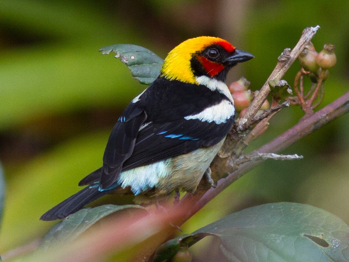 Flame-faced Tanager - Justyn Stahl