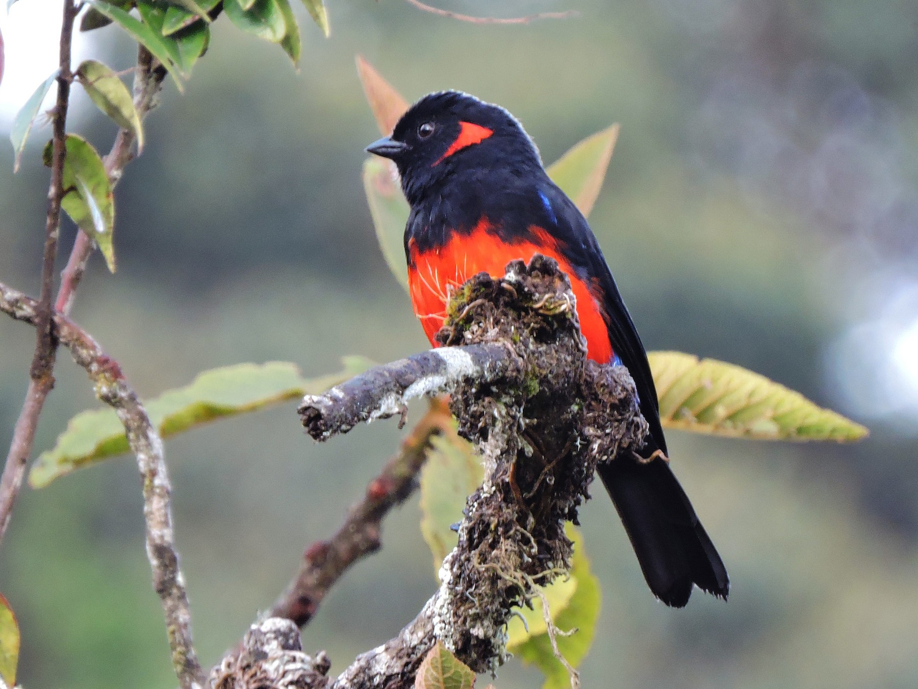 Scarlet-bellied Mountain-Tanager - Edwin Munera