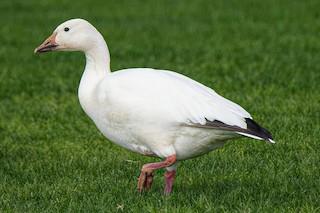 Snow Goose, ML81153911