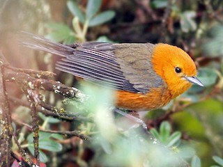 - Rufous-chested Tanager