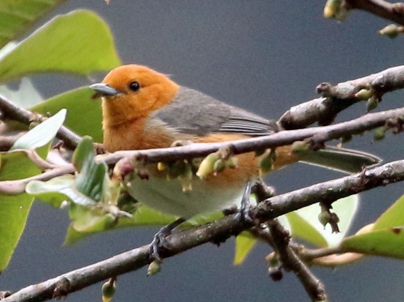 Rufous-chested Tanager - John Drummond