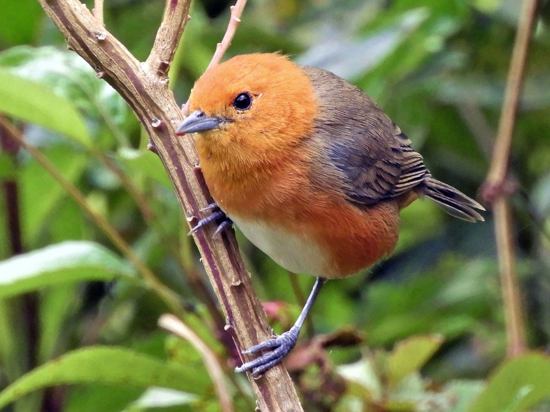 Rufous-chested Tanager - Roger  Rodriguez Ardila