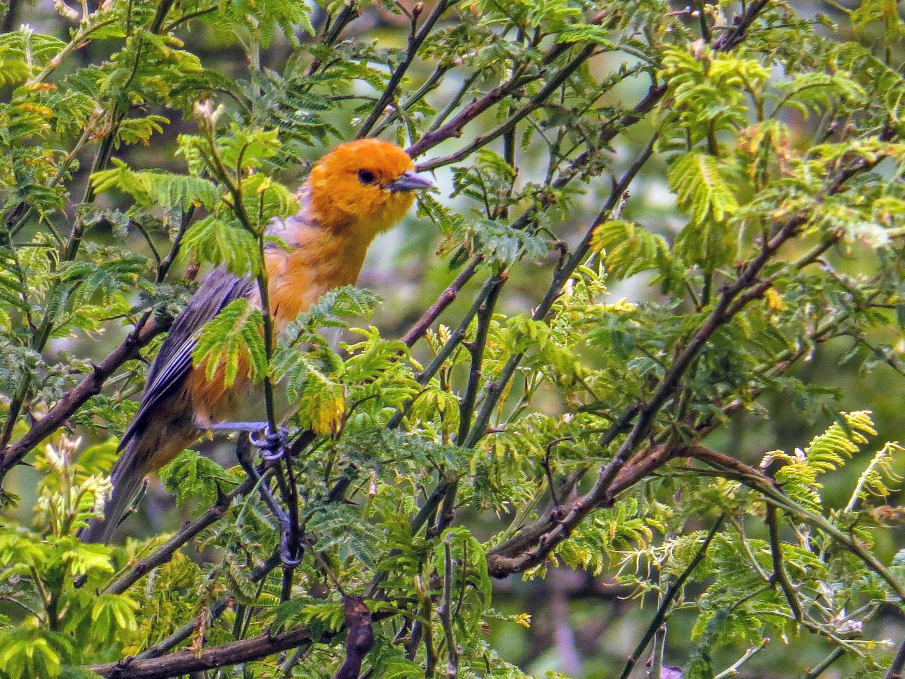 Rufous-chested Tanager - Gustavo Pisso