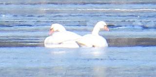 Mute Swan, ML81156811