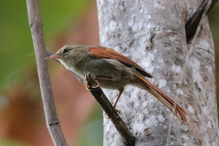 - Crested Spinetail
