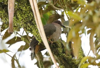 - Mindanao Brown-Dove