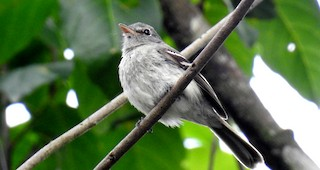 - Gray-breasted Flycatcher