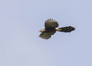- Long-tailed Hawk