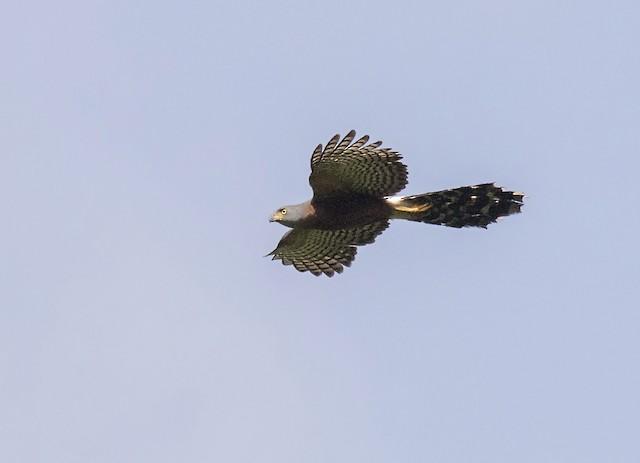 Long-tailed Hawk