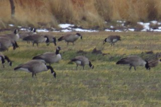 Cackling Goose, ML81339091