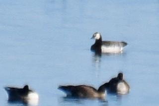 Barnacle Goose, ML81382331