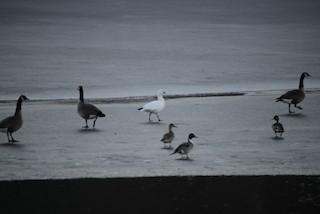 Ross's Goose, ML81387511
