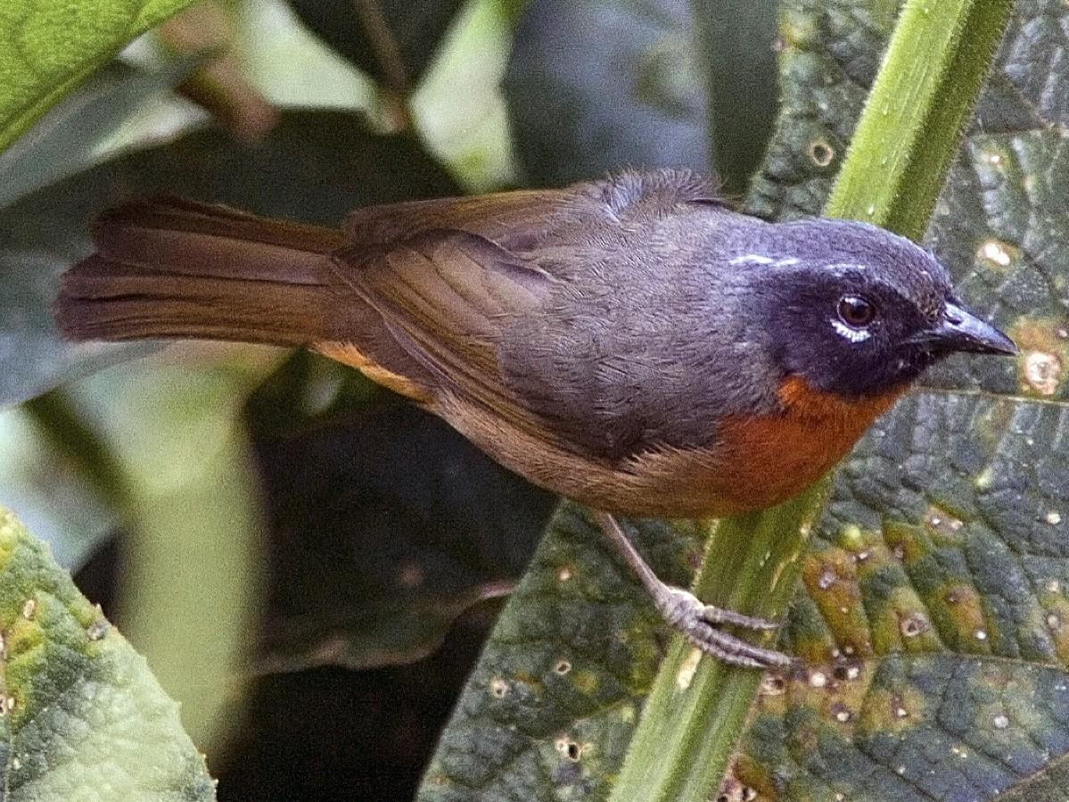 Black-eared Hemispingus - Bradley Hacker