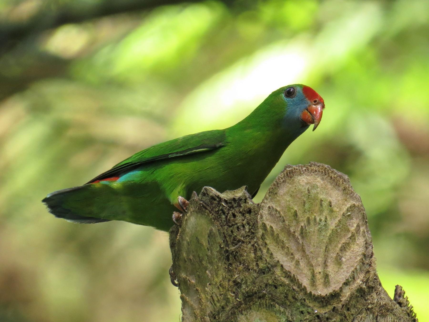 Philippine Hanging-Parrot - George Inocencio