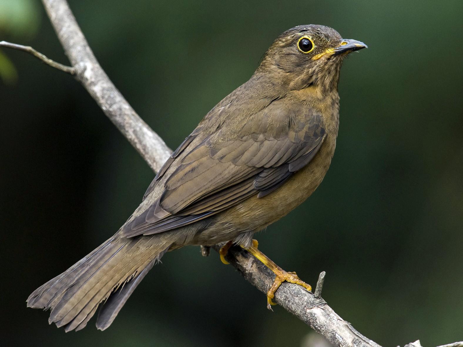 Yellow-legged Thrush - Claudia Brasileiro