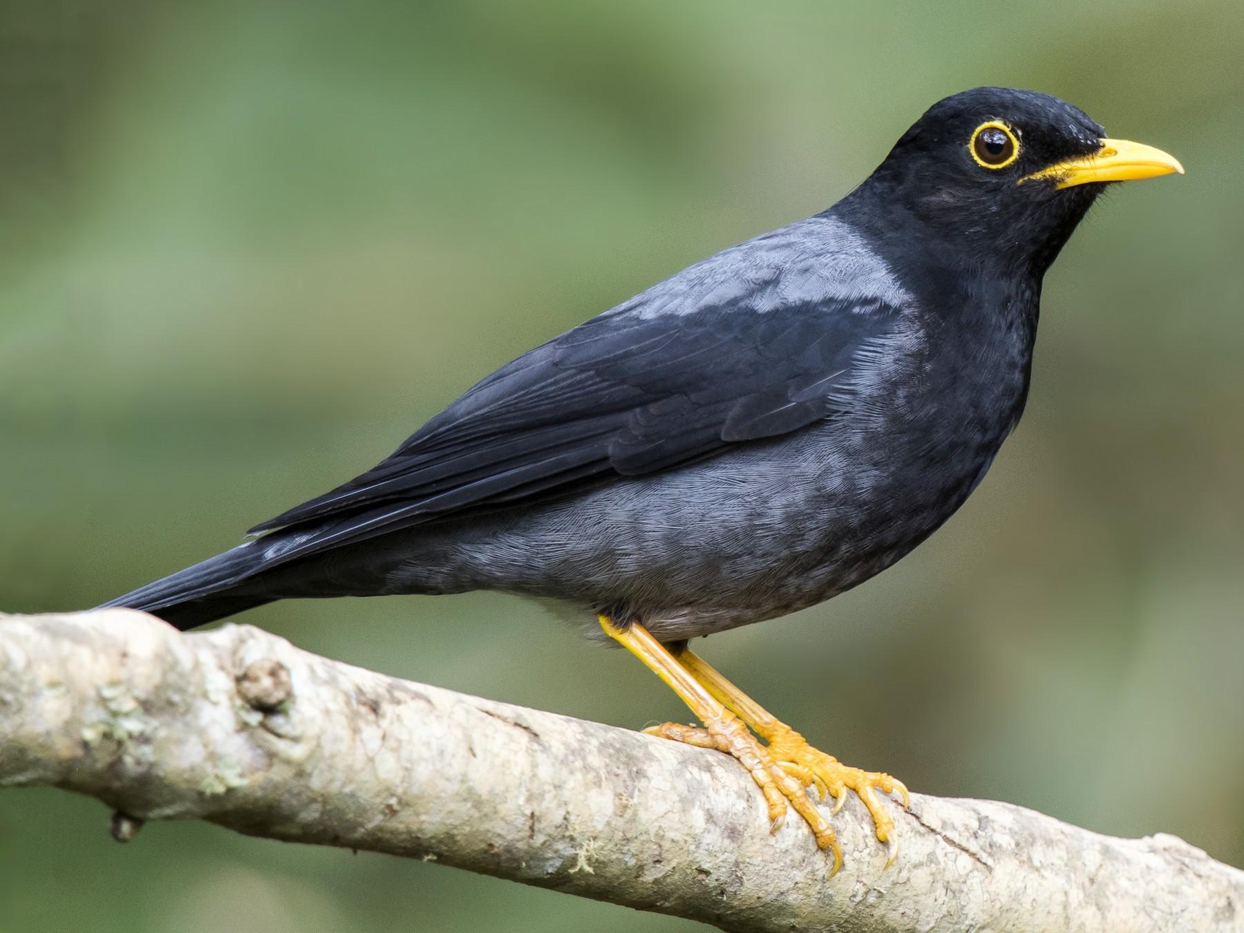 Yellow-legged Thrush - eBird