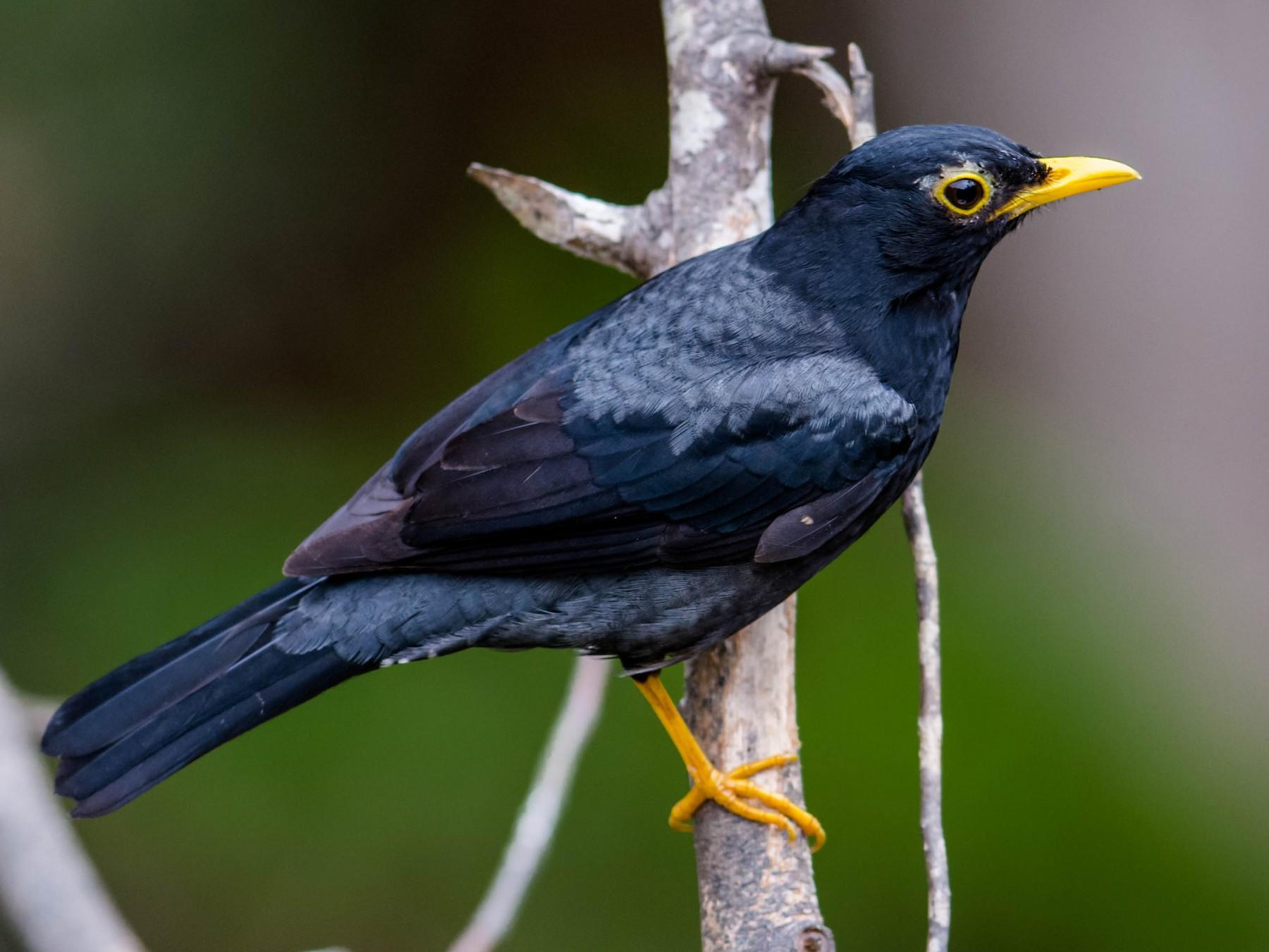 Yellow-legged Thrush - Hudson - BirdsRio