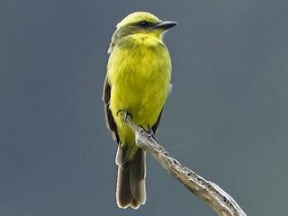 - Lemon-browed Flycatcher