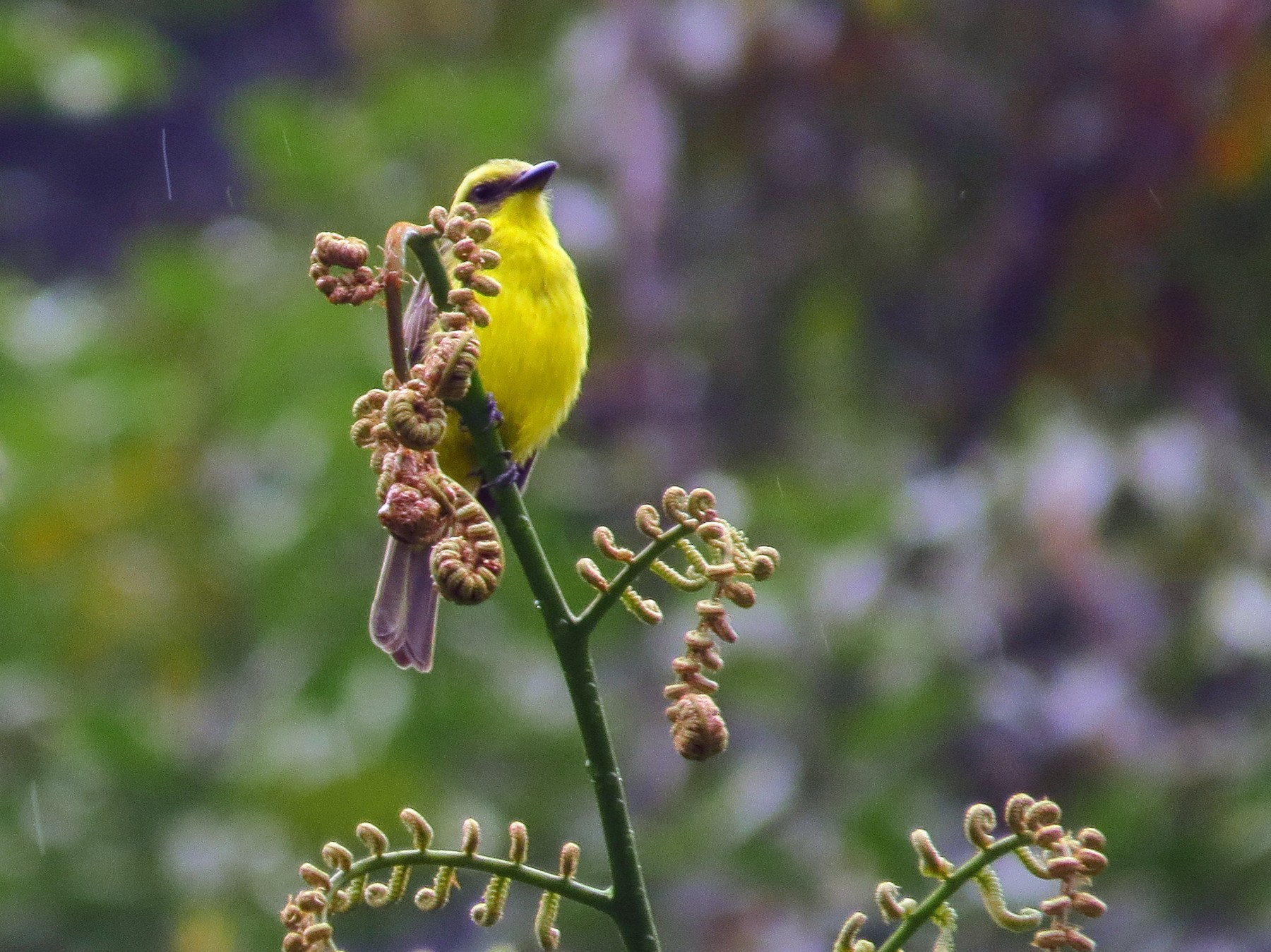 Lemon-browed Flycatcher - Jorge Muñoz García   CAQUETA BIRDING