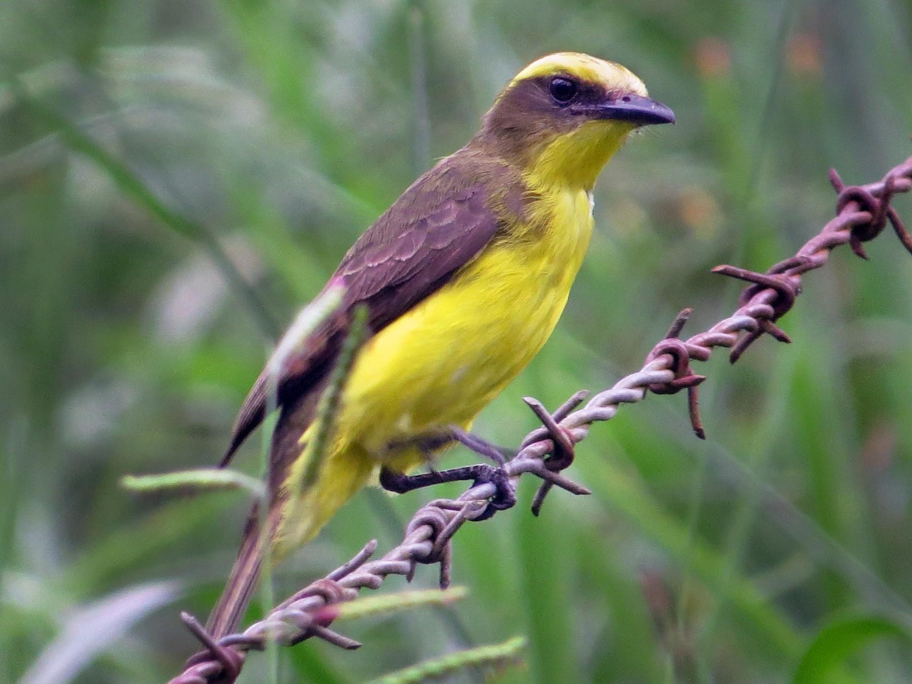 Lemon-browed Flycatcher - Juan Felipe León León