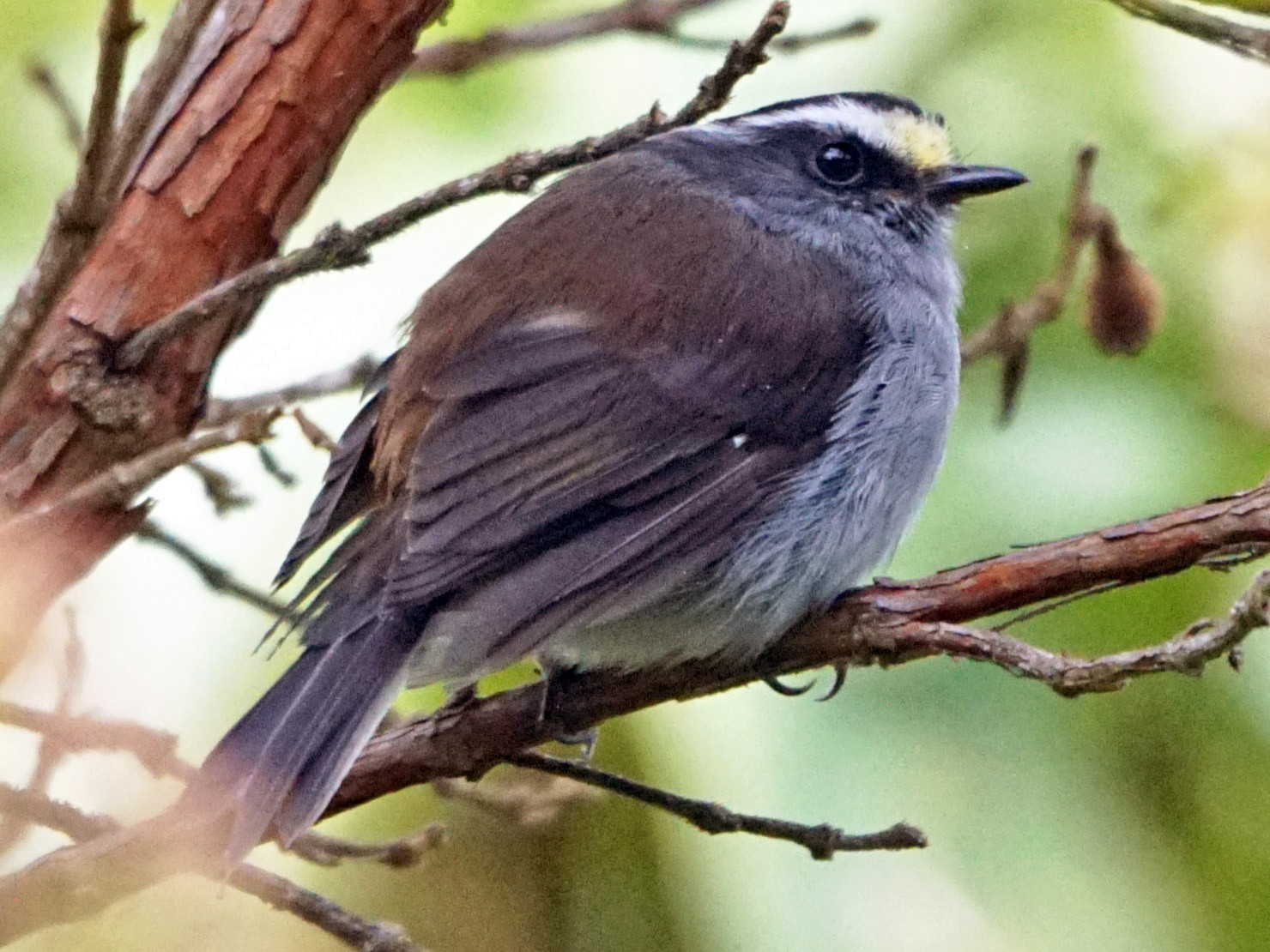 Crowned Chat-Tyrant - Michael Smith