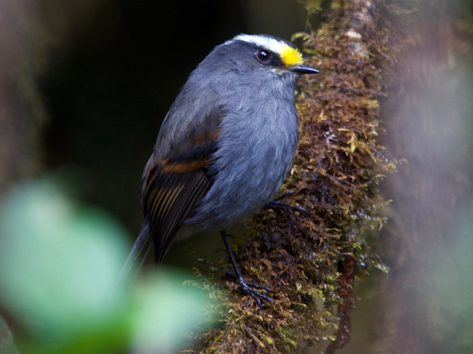 Crowned Chat-Tyrant - Jamie Baker