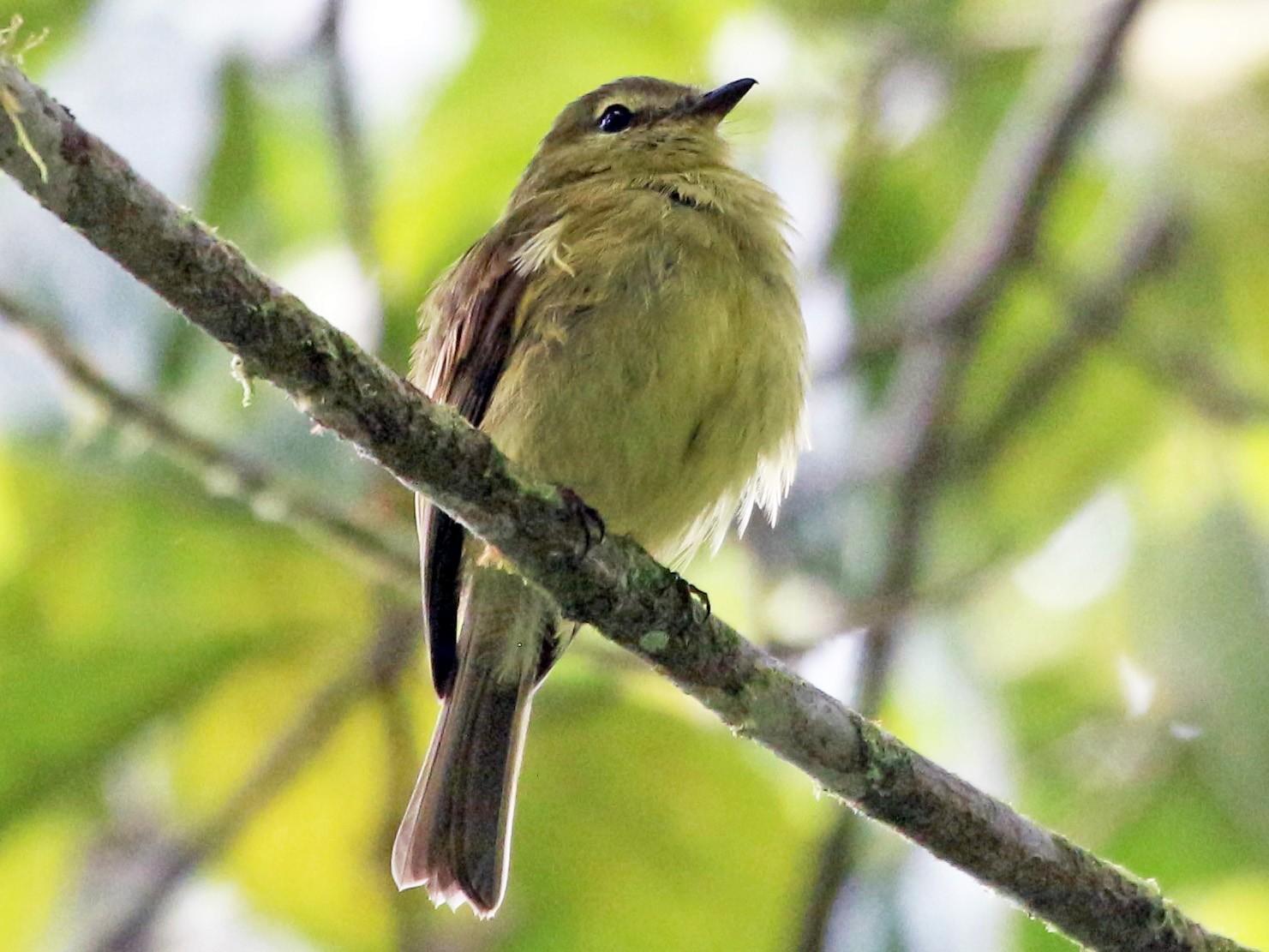 Flavescent Flycatcher - John Drummond