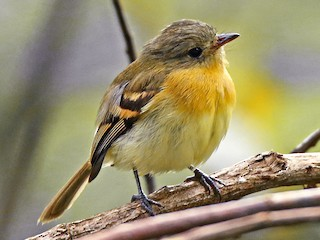- Handsome Flycatcher