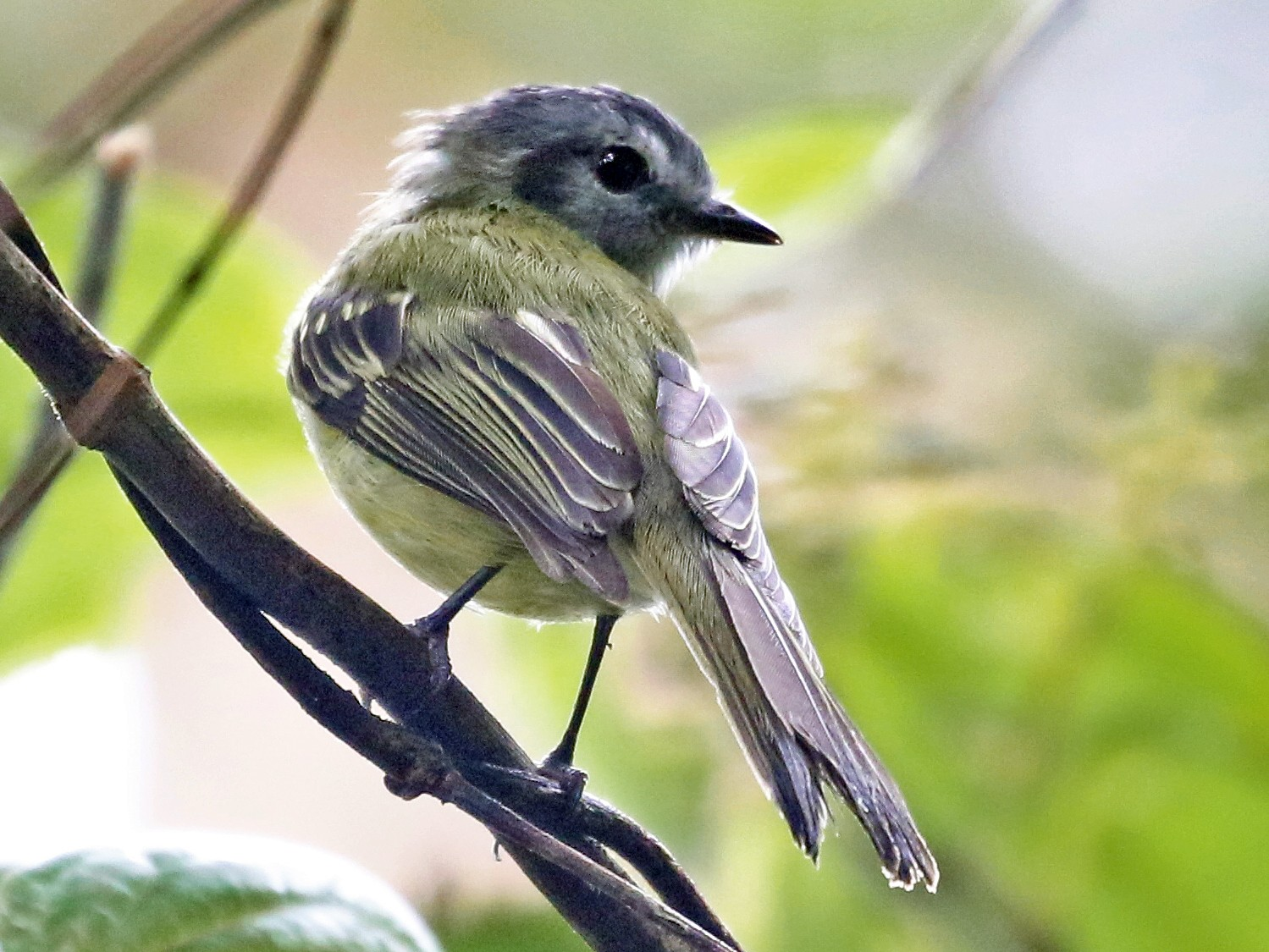Plumbeous-crowned Tyrannulet - Andrew Spencer