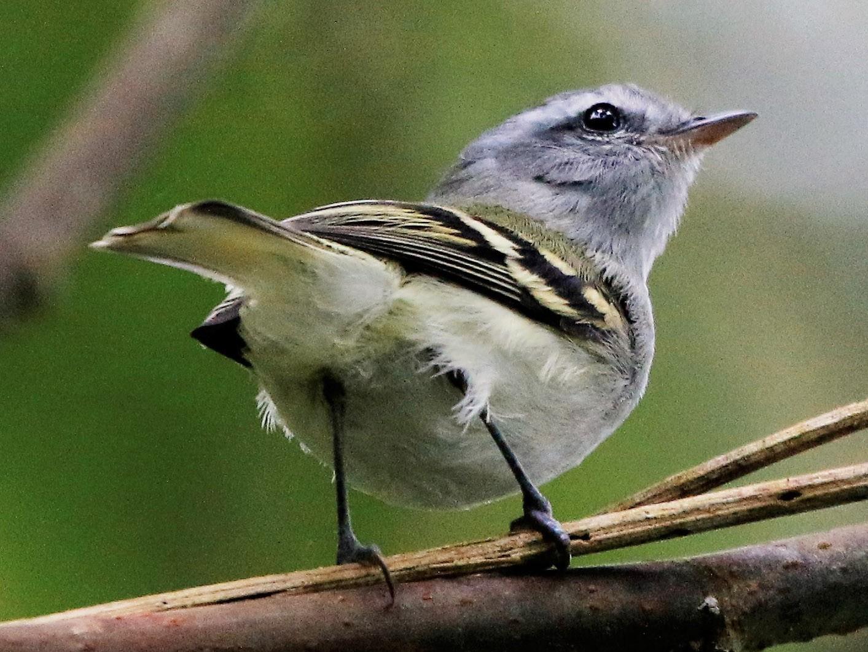 White-tailed Tyrannulet - Madeleine Sandefur