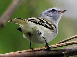- White-tailed Tyrannulet
