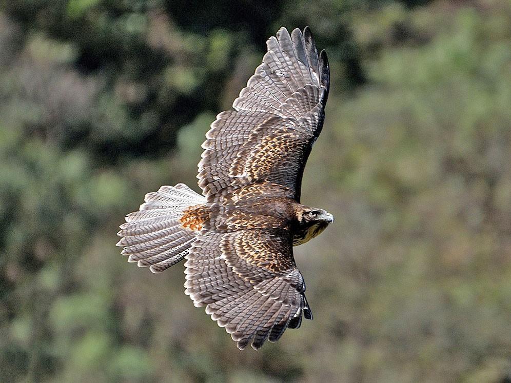 Black-chested Buzzard-Eagle - Luis Fernandez