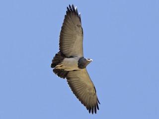- Black-chested Buzzard-Eagle
