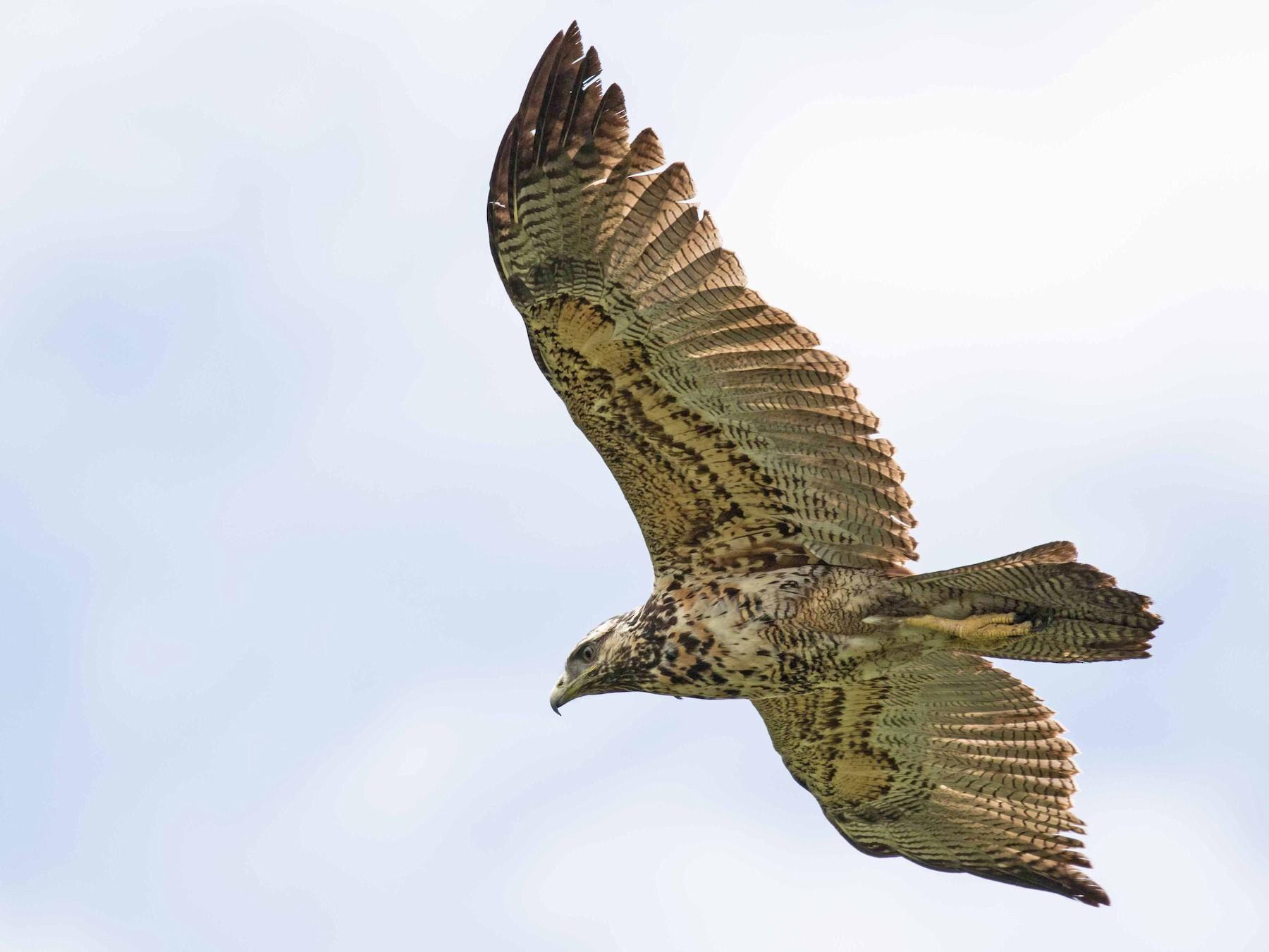 Black-chested Buzzard-Eagle - Linda Rudolph