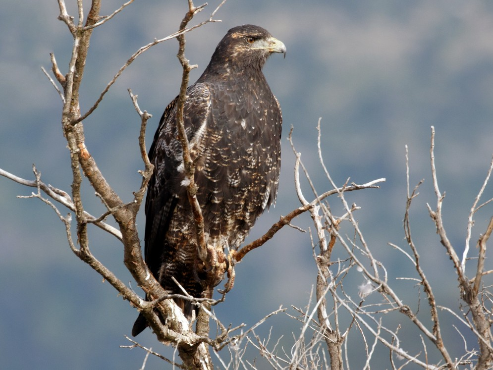 Black-chested Buzzard-Eagle - Silvia Faustino Linhares