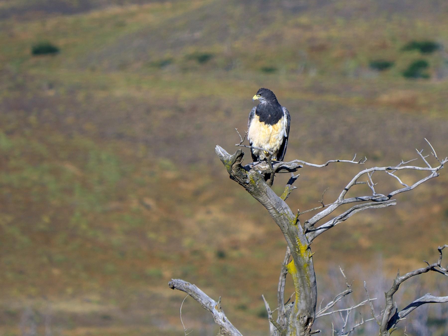 Black-chested Buzzard-Eagle - Paul Tavares